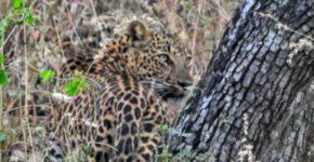 Leopard Killing Sambar